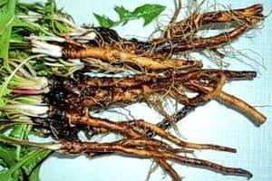 Одуванчик: лечебные свойства и удивительные качества растения