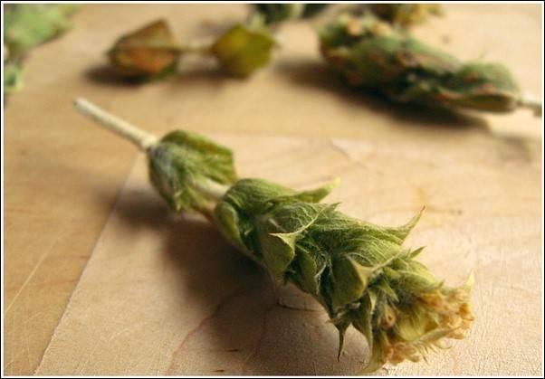 Мурсальский чай полезные свойства