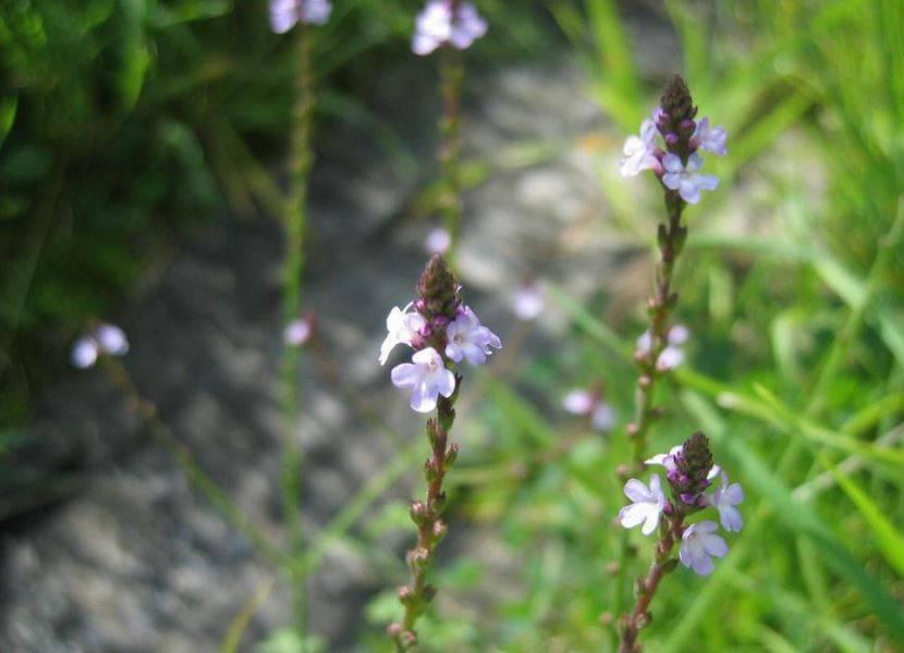 Вербена лекарственная — свойства и химический состав растения, показания к применению, рецепты народной медицины