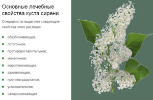 Лист сирени лечебные свойства и противопоказания