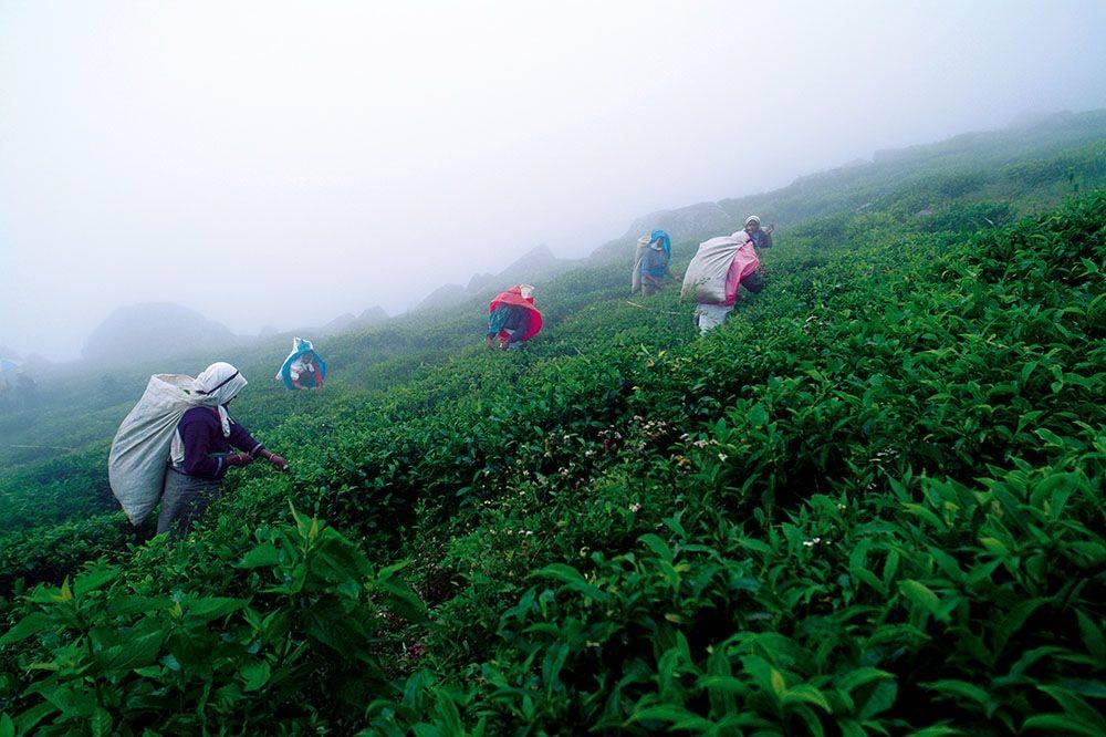 Полный обзор сортов и видов цейлонского чая