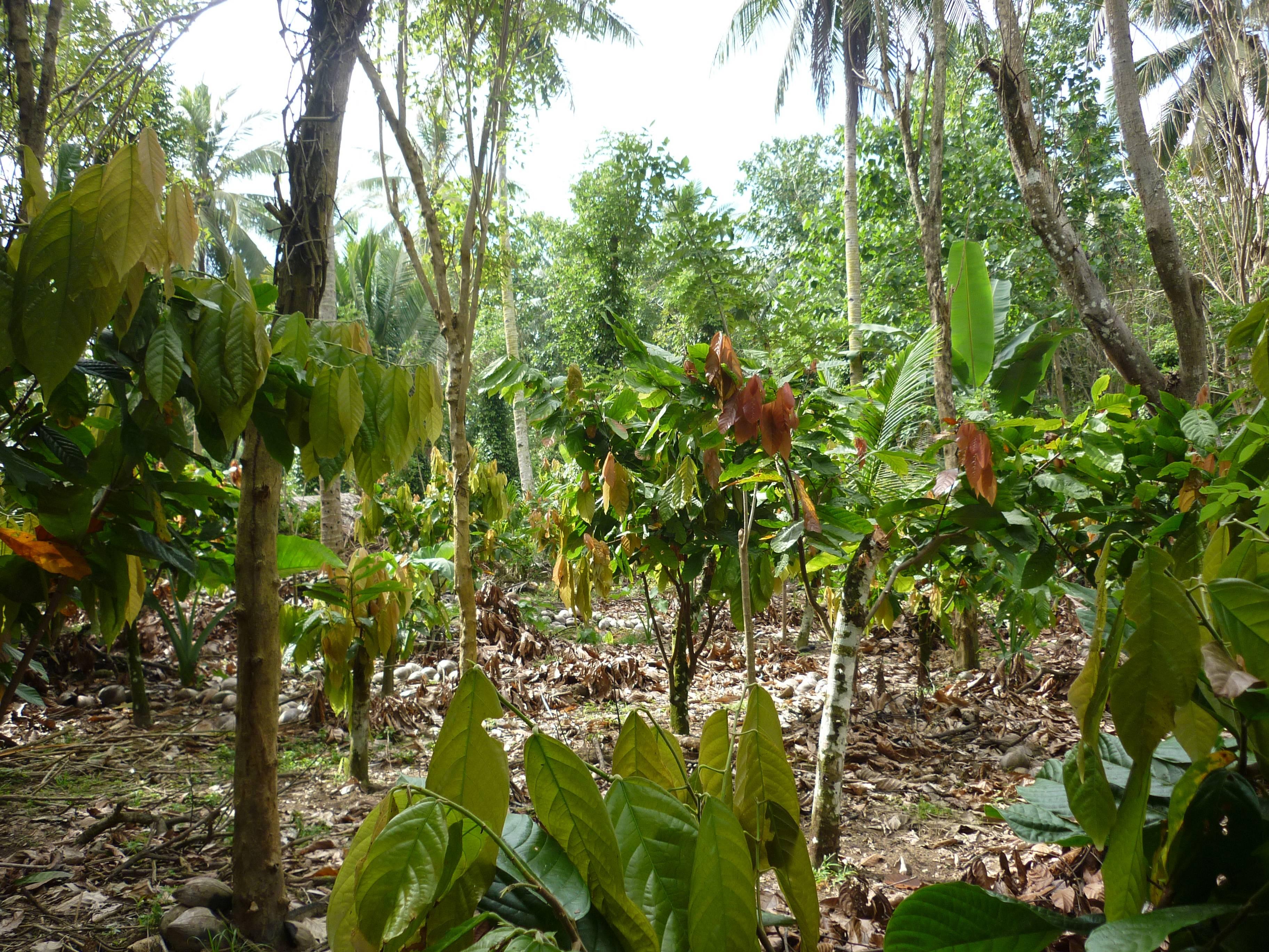 Шоколадное дерево: описание и применение