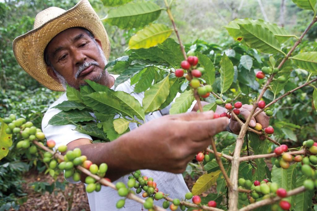 Сорт кофе марагоджип – классификация и способ приготовления