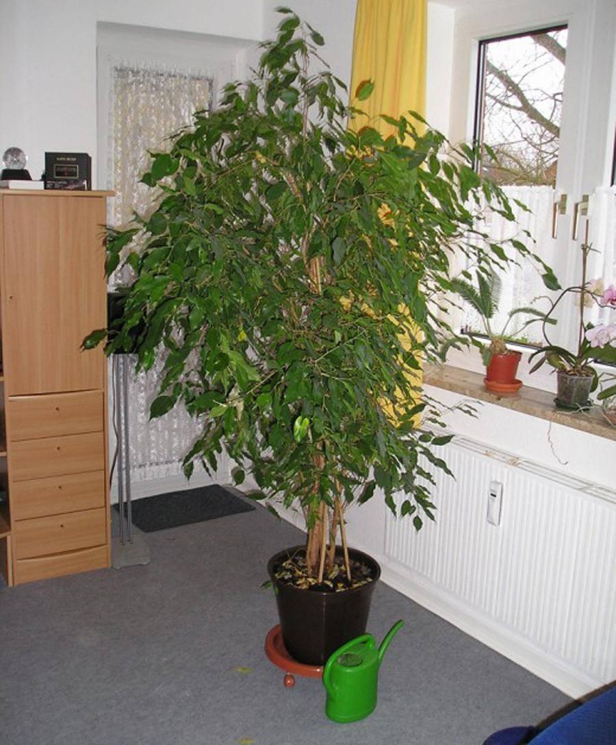 Кофейное дерево: уход в домашних условиях. выращивание из зерна и черенка.