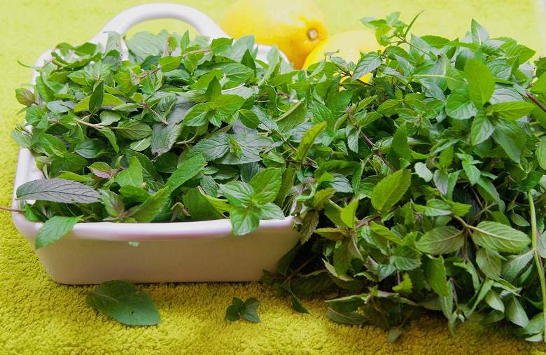 Сбор мяты: когда заготавливать мяту — до цветения или после, как собирать мяту