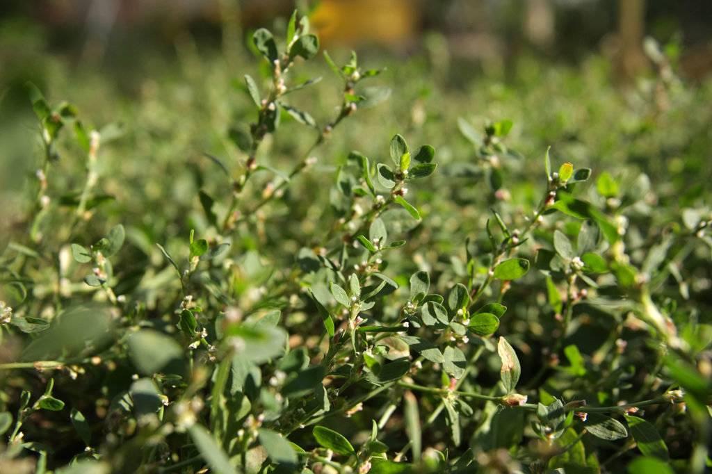 Спорыш. полезные и лечебные свойства. противопоказания. применение. трава птичьего горца