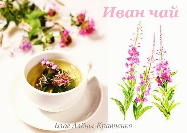 Правильная сушка иван-чай в домашних условиях, виды и способы, ферментация