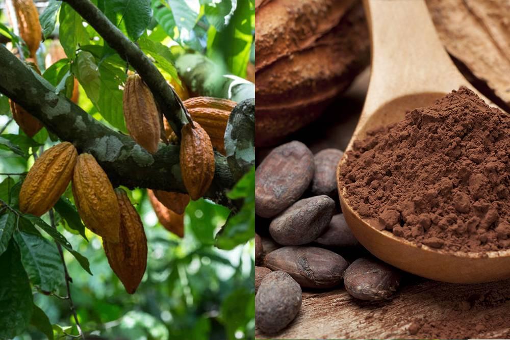 Какао бобы польза и вред для здоровья, состав, калорийность, бжу