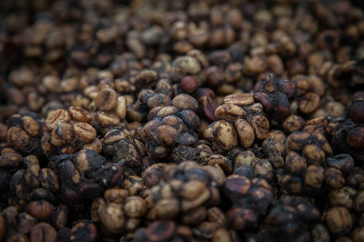 Кофе лювак - особенности напитка и советы по выбору