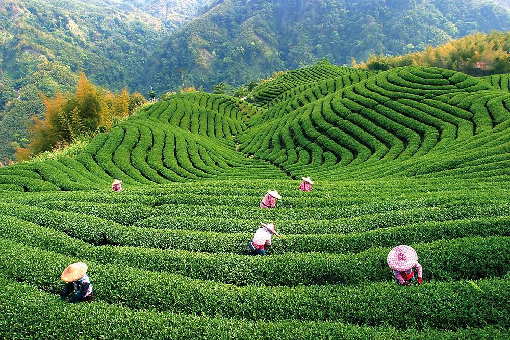 Чайные плантации индии - teaterra   teaterra