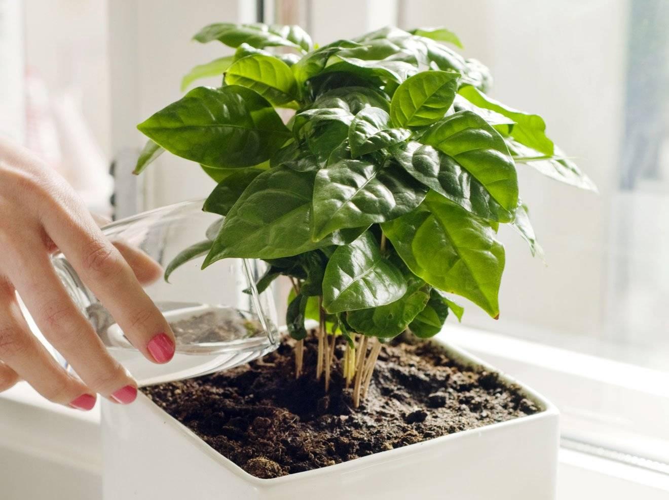 Грунт для кофейного дерева: как подобрать состав почвы и чем подкормить растение? selo.guru — интернет портал о сельском хозяйстве