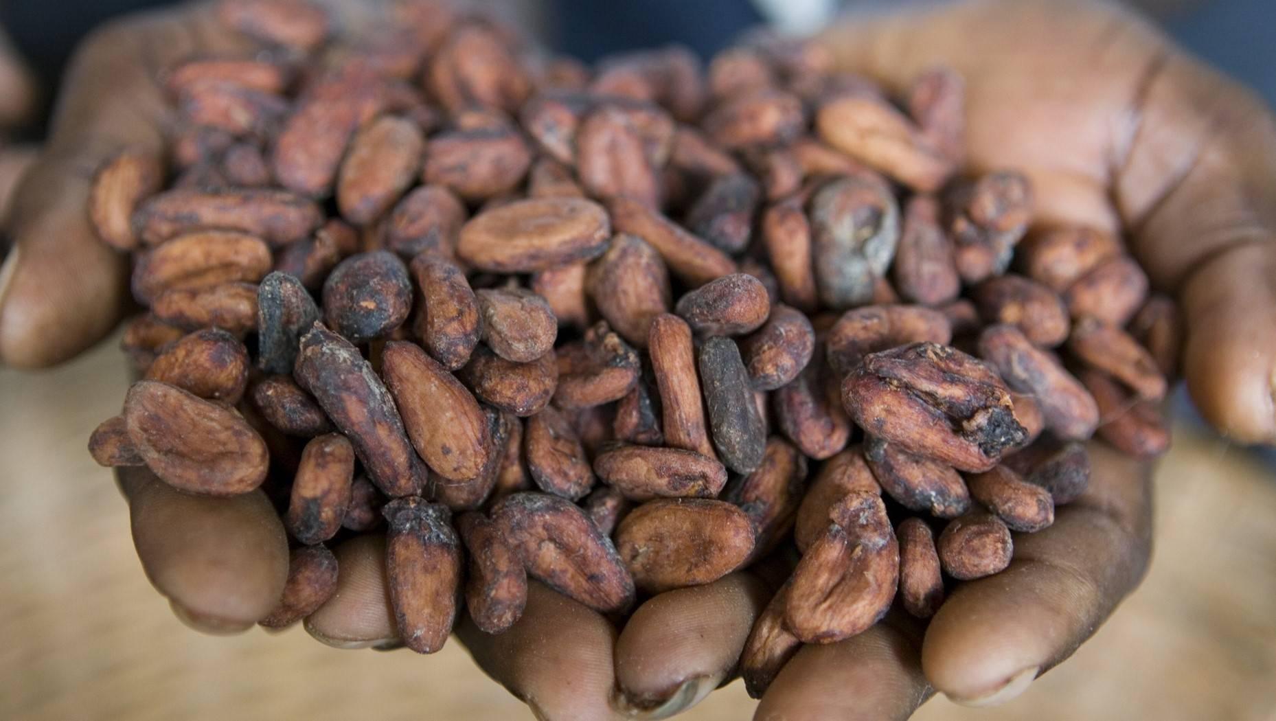 Какао бобы польза, рецепты, факты