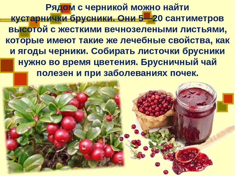 Брусничный чай: полезные свойства листьев брусники, заготовка и рецепты