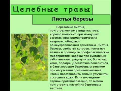 Березовые листья: польза, особенности приготовления и лечения в домашних условиях