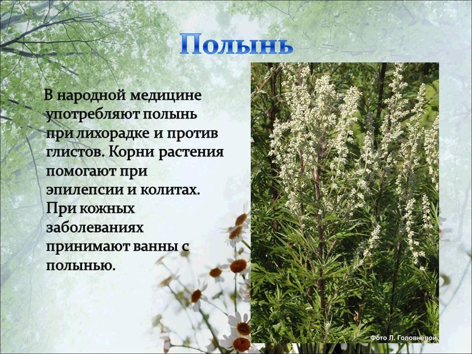Полынь горькая – лечебные свойства травы