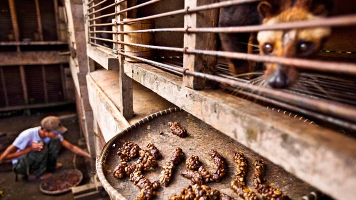 Кофе лювак (kopi luwak) – самый дорогой сорт в мире из экскрементов животных