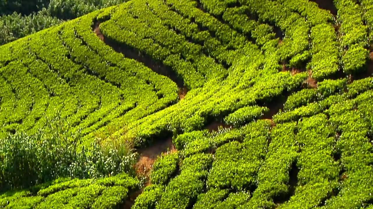 Цейлонский чай: сорта, вкусовые характеристики и способы заваривания