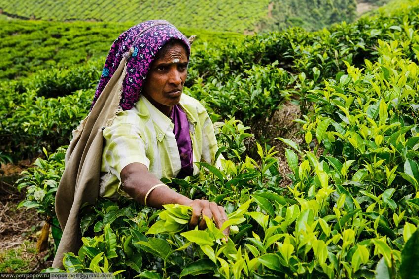 Какой чай пьют в индии? разновидности сортор чая