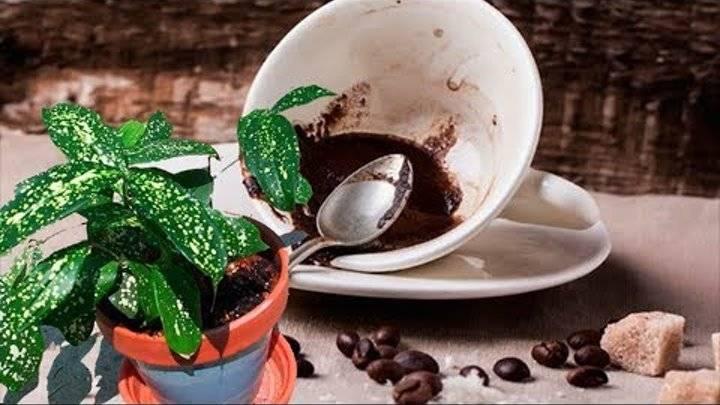 Кофейная гуща как удобрение, применение в саду и в домашних условиях