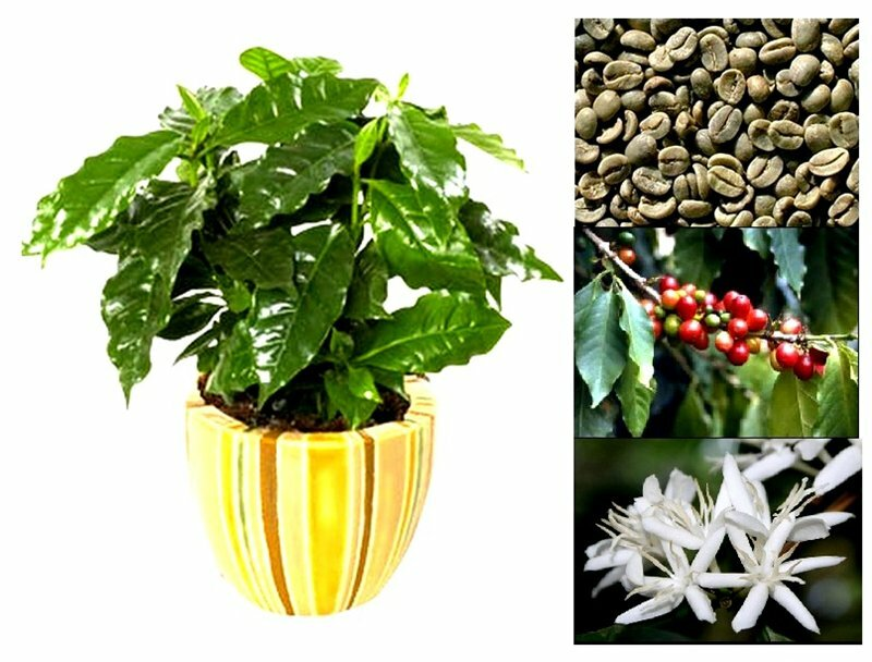 Растение кофе: фото, виды, описание, разведение и особенности ухода - sadovnikam.ru