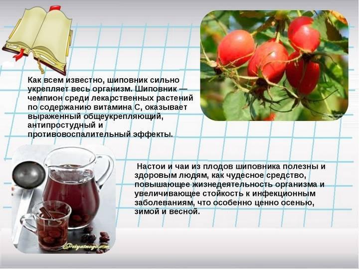 Корень шиповника: полезные свойства и противопоказания, рецепты отвара и настойки