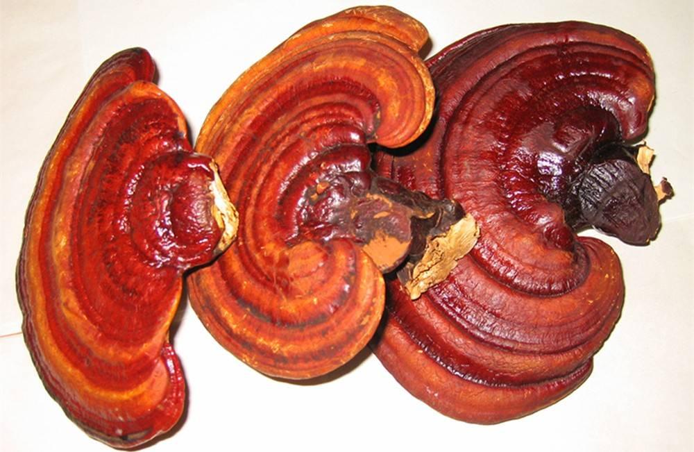 Грибы рейши – суперфуд для долголетия. лечебные свойства, польза и вред