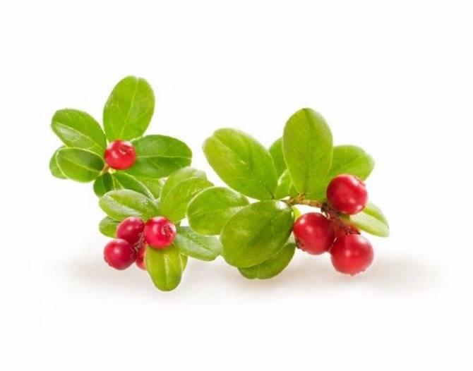 Листья брусники лечебные свойства и противопоказания, рецепты применения