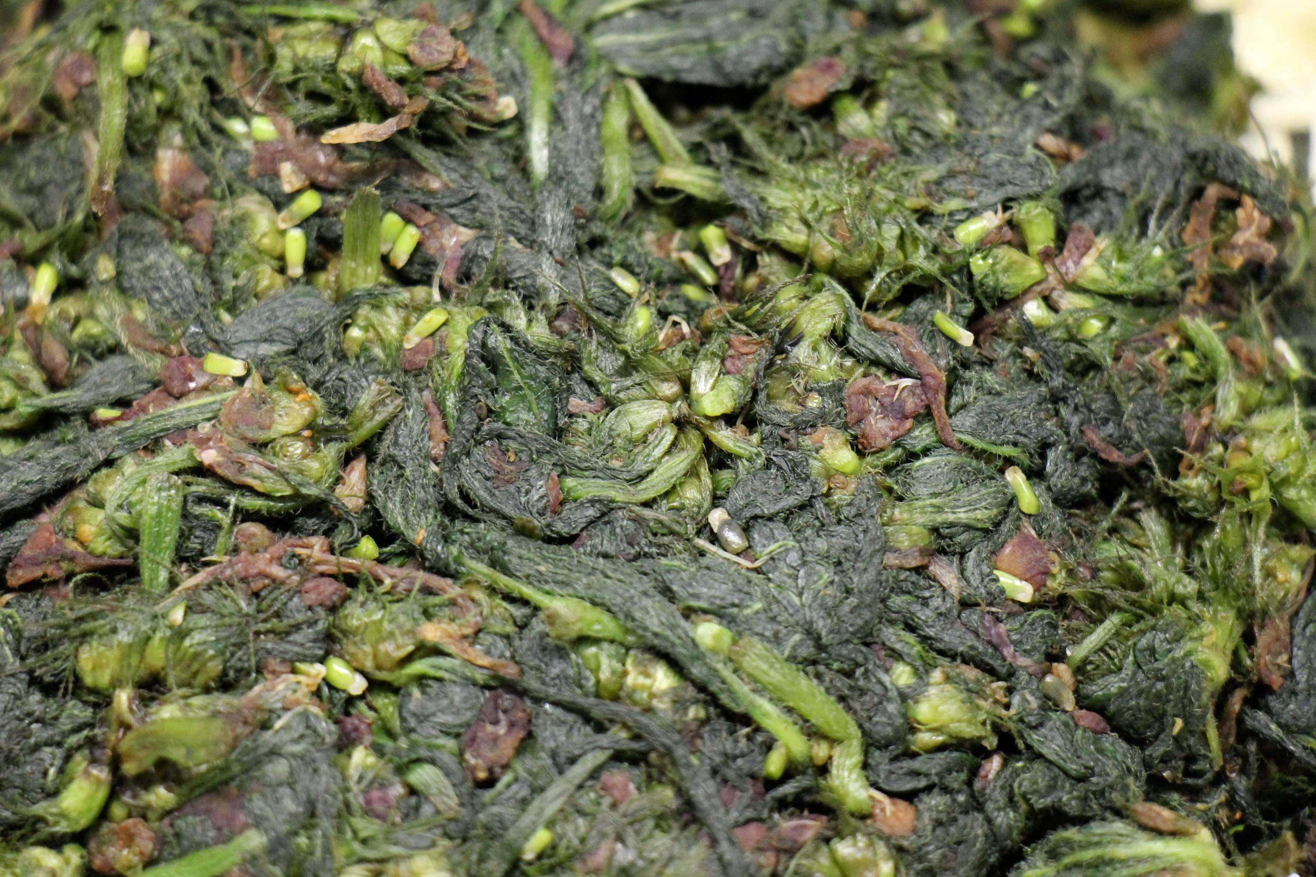Чем полезен чай из крапивы и как его готовить?