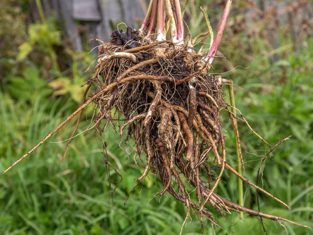 Что лечит корень подсолнечника. корни подсолнуха − лечебные свойства
