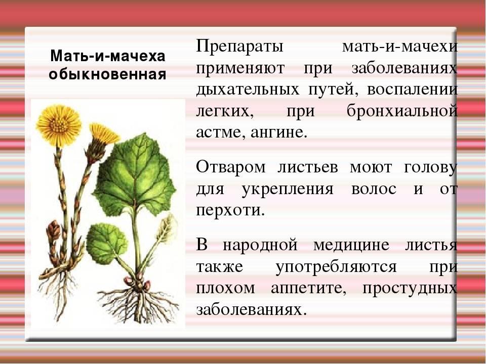 Мать-и-мачеха — прогоняющая кашель. описание. лечебные свойства и противопоказания. фото — ботаничка.ru