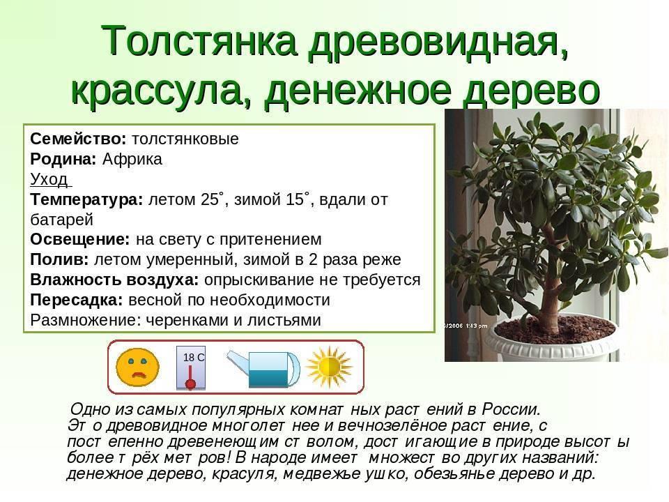 Мирт обыкновенный: свойства и применение растения, посадка и уход в домашних условиях, размножение, фото