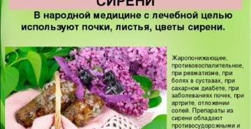 Сирень, лечебные свойства и противопоказания