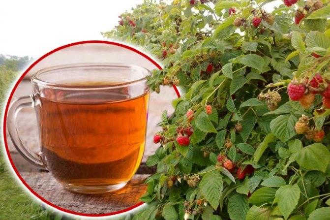 Все о чае с малиной (малиновом чае)