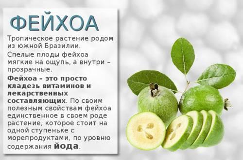 Фейхоа: полезные свойства, противопоказания, рецепты, польза