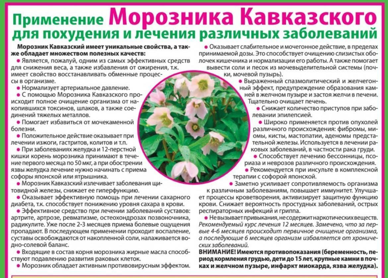 Морозник  фото и свойства травы, рецепты применения в народной медицине