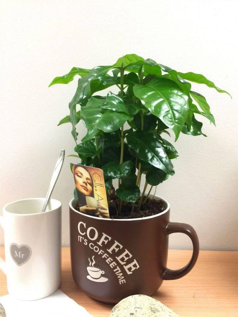 Выращивание кофейного дерева в домашних условиях, сорта, посадка и уход, размножение, возможные болезни: сам себе бариста (фото & видео) + отзывы