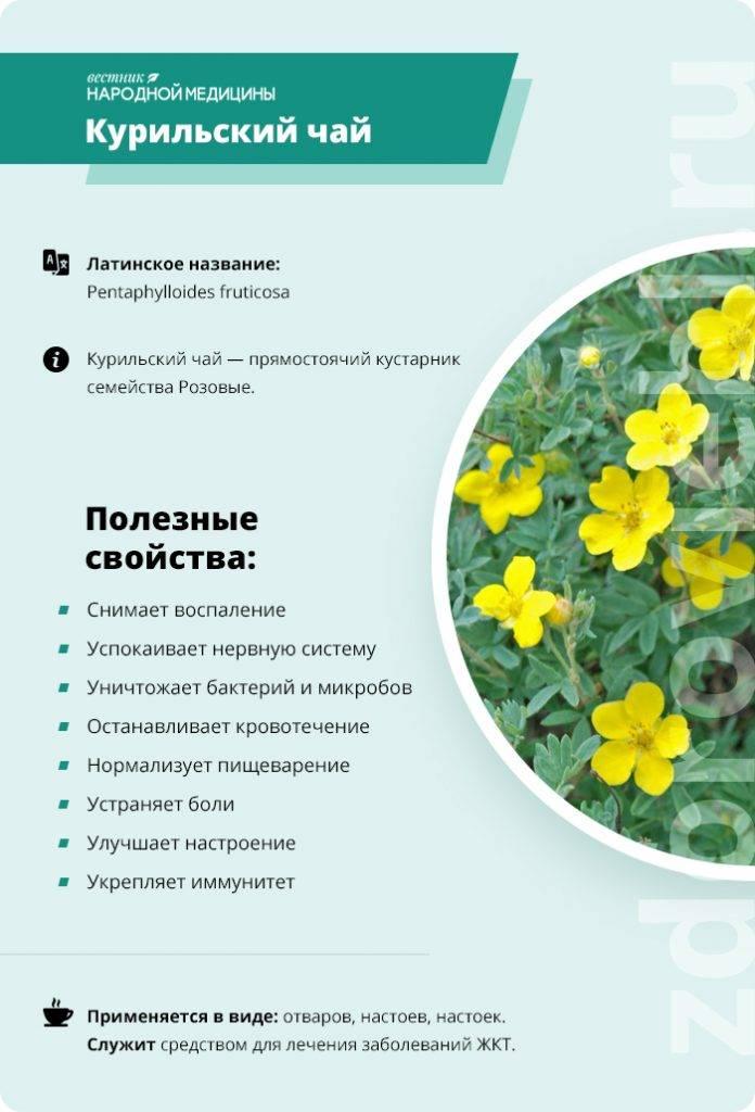 Лапчатка белая полезные свойства и противопоказания, применение в народной медицине, как корень помогает при щитовидной железе, отзывы