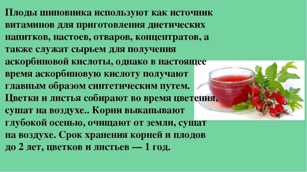 Шиповник – лечебные свойства, противопоказания, применение и рецепты
