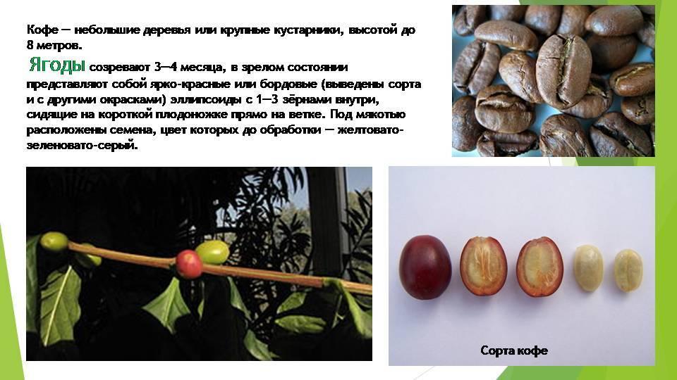 Кофейные зёрна — википедия. что такое кофейные зёрна