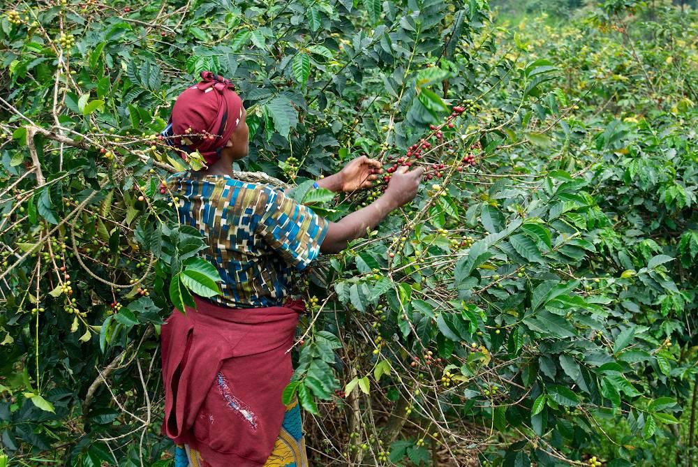 Эфиопский кофе: особенности, виды, сорта, известные марки