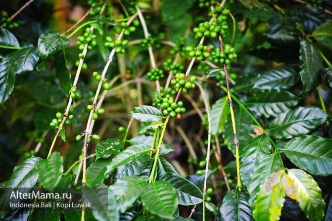 Характеристика индийского кофе