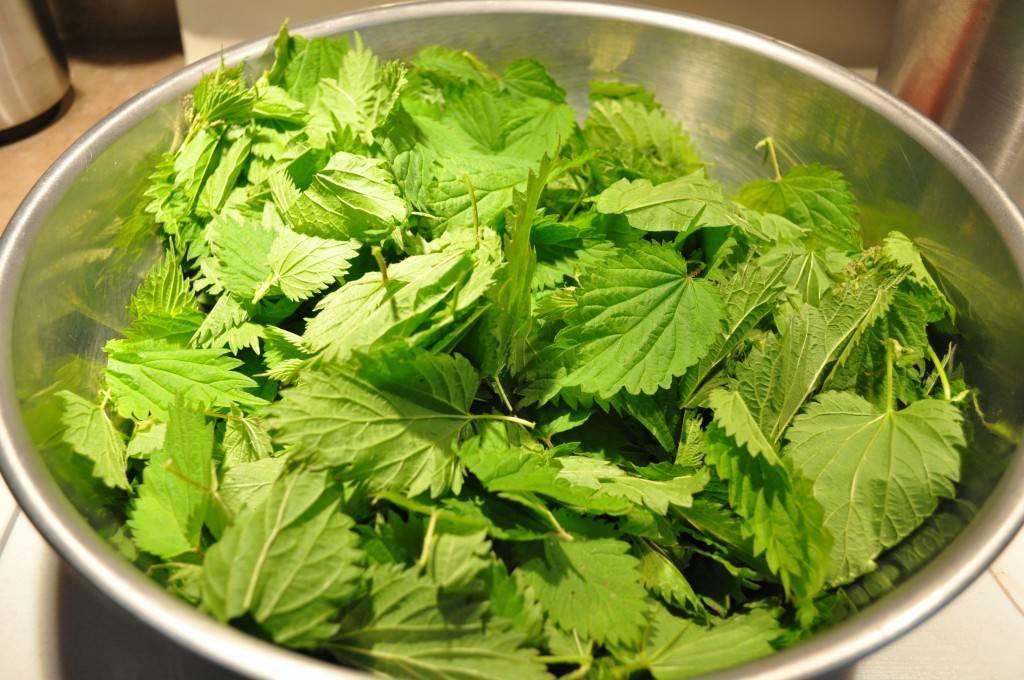 Польза и вред крапивы: все лечебные свойства и противопоказания