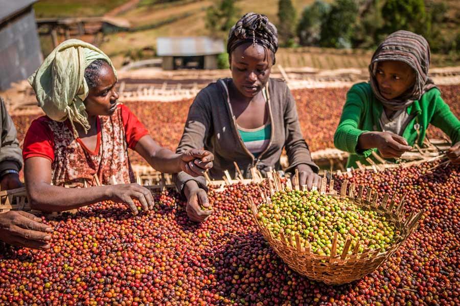Кенийский кофе в зернах – особенности вкуса, состав. популярные сорта и бленды
