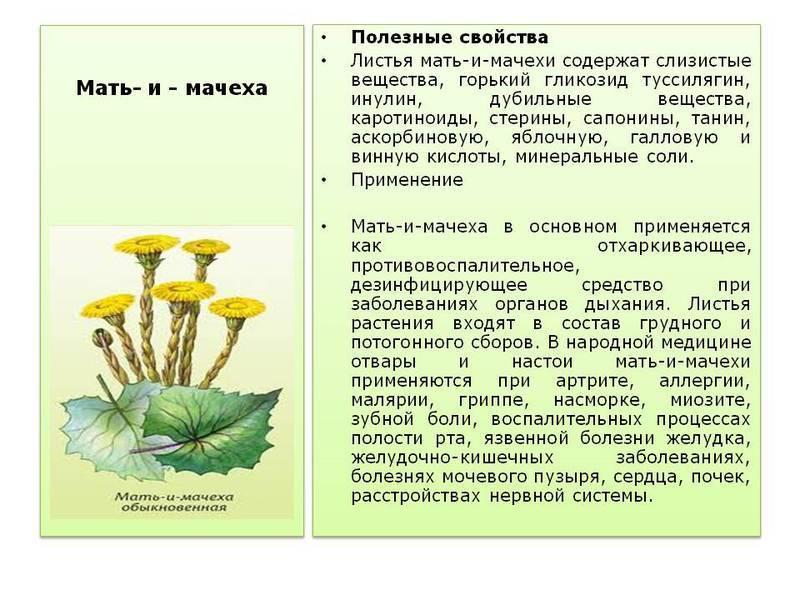 Лечебные свойства мать-и-мачехи: польза и показания к применению, народные рецепты отваров и настоек