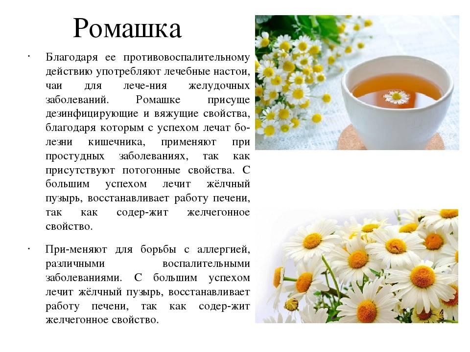 Ромашковый чай: польза и вред для здоровья, применение напитка