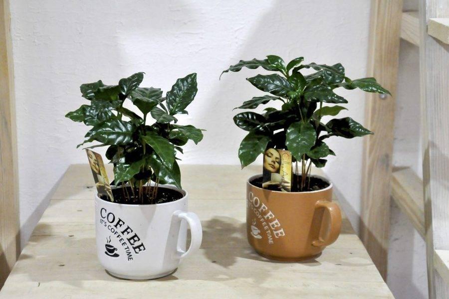 """Уход за комнатным растением """"кофе арабика"""": полив, освещение, размножение"""