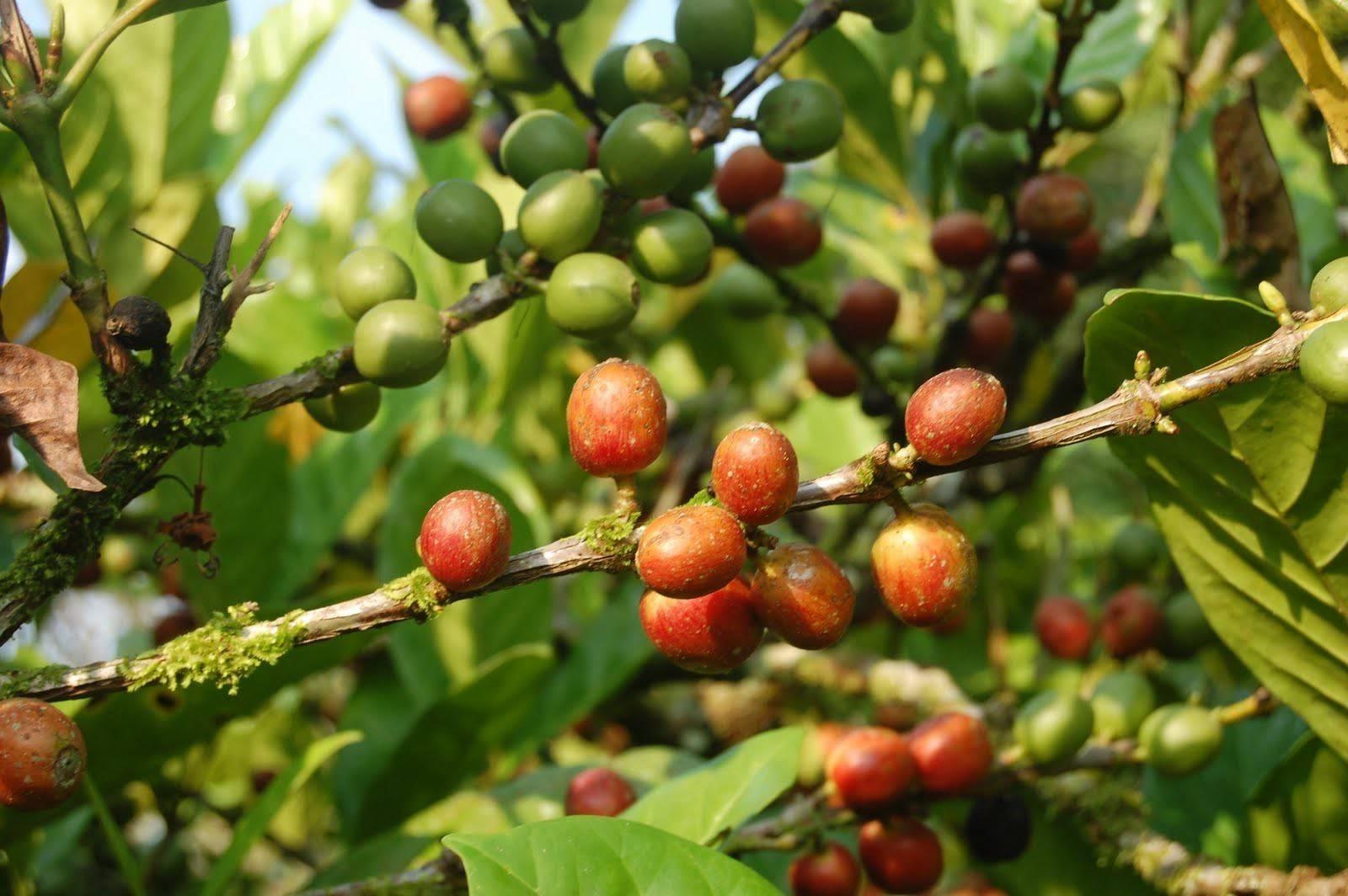Виды кофе: арабика, либерика, робуста и другие