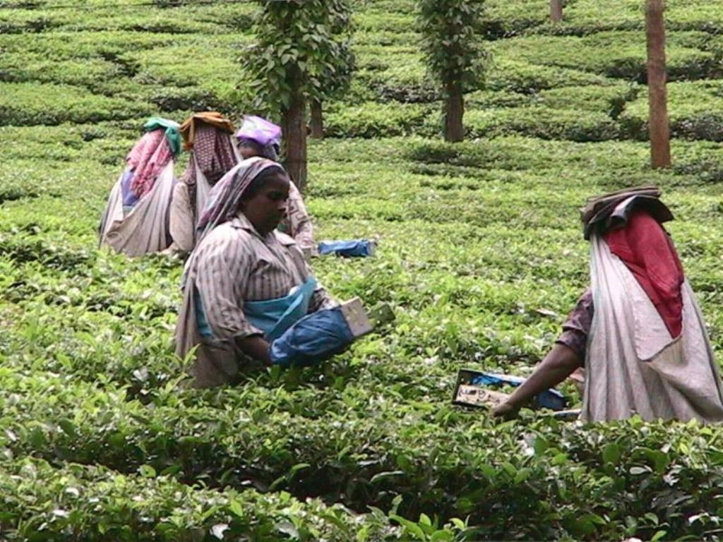 Выращивание и производство чая в индии. индийские чайные традиции