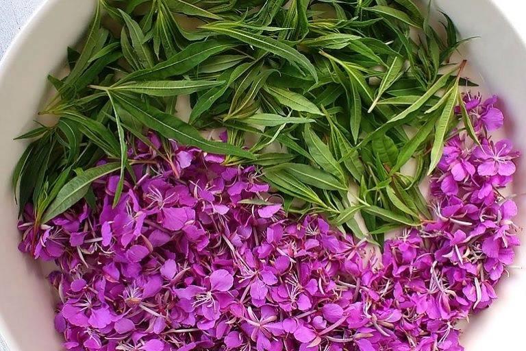 Кипрей узколистный (иван-чай): полезные свойства и противопоказания, применение в походных условиях, особенности для мужчин и женщин, выращивание, сбор, рецепты