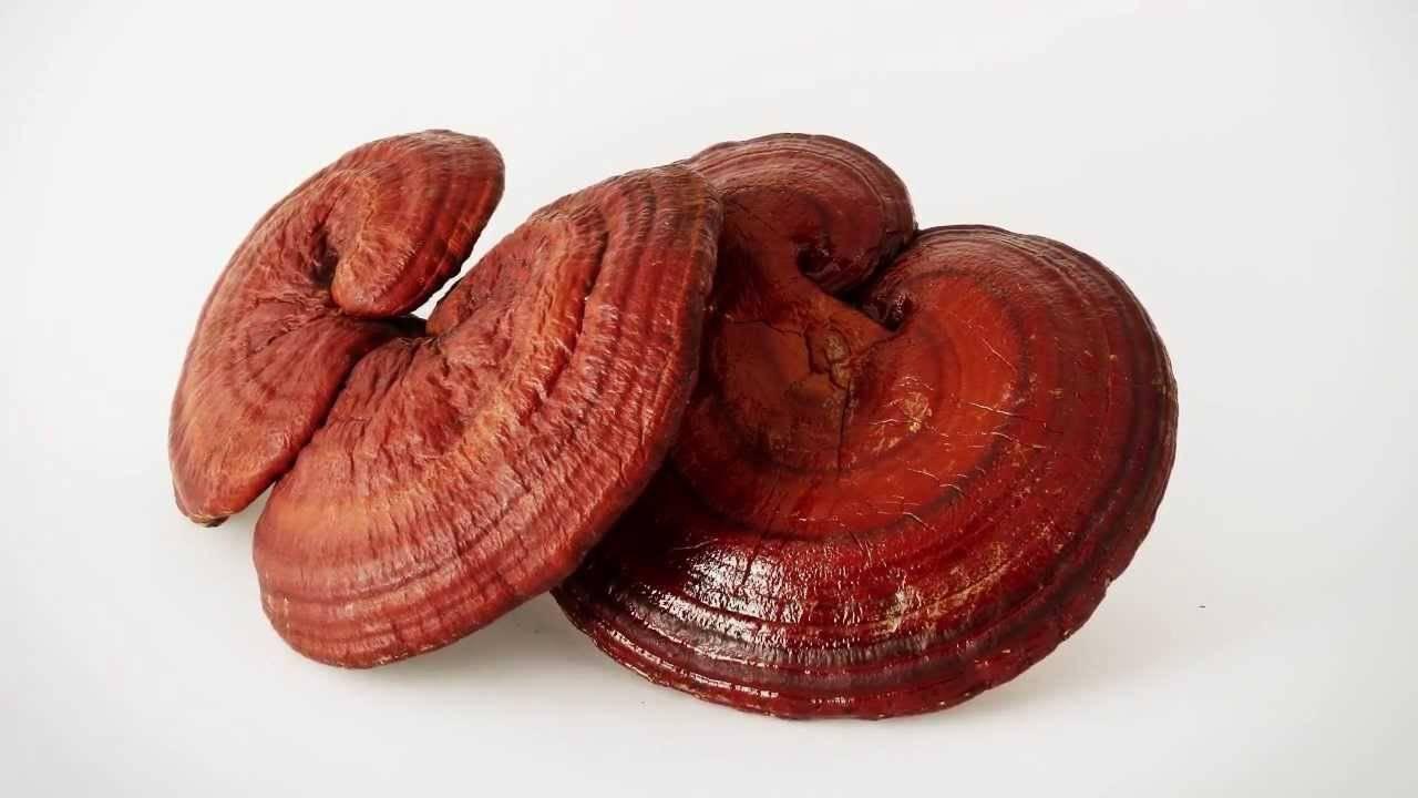 Целебные свойства и применение гриба рейши